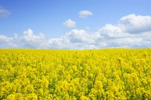 field-of-rapeseeds-474558_960_720